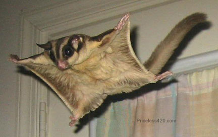flying_squirrel.jpg